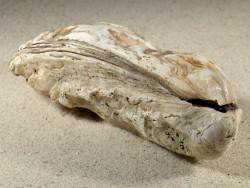 Crassostrea gigas NL 15,8cm *Unikat*