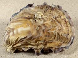 Crassostrea gigas NL 10,2cm *Unikat*