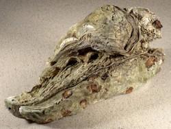 Crassostrea gigas NL 19cm *Cluster*