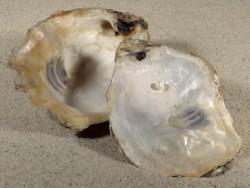 Crassostrea gigas with blister pearl DE 9,5cm *unique*