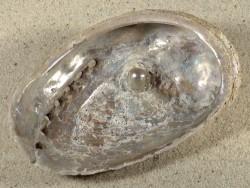 Haliotis tuberculata tuberculata m/Blisterperle FR-Atlantik 10cm *Unikat*