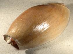 Cymbium glans m/Blisterperle SN 26cm *Unikat*