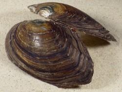 Anodonta anatina m/Blisterperle HU 11,8cm *Unikat*