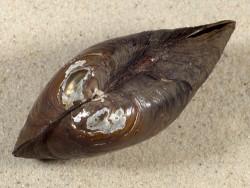 Anodonta anatina NL 9,1cm *Unikat*