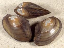 Anodonta anatina NL 6+cm