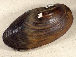 Anodonta cygnea f. zellensis NL 16cm *Unikat*