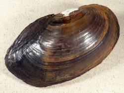 Anodonta cygnea f. zellensis NL 15,3cm *Unikat*