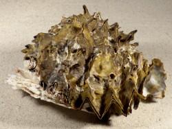 Hyotissa hyotis auf Chama lazarus 1/2 PH 13,4cm *Unikat*