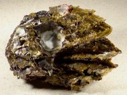 Hyotissa hyotis Cluster PH 14,2cm *Unikat*