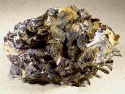 Hyotissa hyotis auf Hyotissa hyotis 1/2 PH 16cm *Unikat*