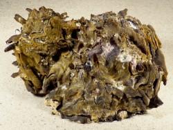 Hyotissa hyotis Cluster PH 16cm *Unikat*