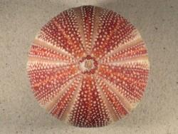 Echinus esculentus UK 11,4cm *Unikat*