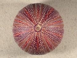Echinus esculentus UK 9,8cm *Unikat*