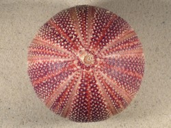 Echinus esculentus UK 11,3cm *unique*