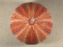 Großer  Nordsee-Seeigel Echinus esculentus UK 11cm *Unikat*