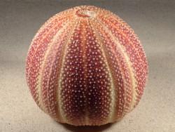 Echinus esculentus UK 13,1cm *Unikat*