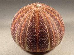 Echinus esculentus UK 12,6cm *Unikat*