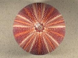 Echinus esculentus UK 12,3cm *Unikat*