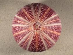 Echinus esculentus UK 12,5cm *Unikat*