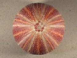 Echinus esculentus UK 12cm *Unikat*