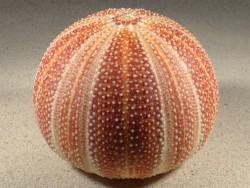 Echinus esculentus UK 11,7cm *unique*