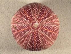 Echinus esculentus UK 10cm *unique*