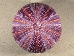 Echinus esculentus UK 11,9cm *Unikat*