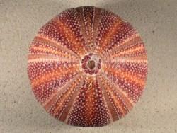 Echinus esculentus UK 12,8cm *unique*