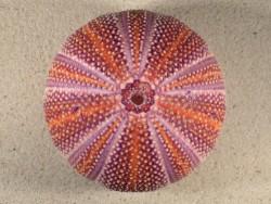 Großer  Nordsee-Seeigel Echinus esculentus UK 11,4cm *Unikat*