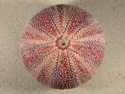 Großer  Nordsee-Seeigel Echinus esculentus UK 11,1cm *Unikat*