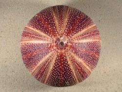 Echinus esculentus UK 13,5cm *Unikat*