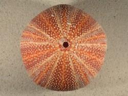 Großer  Nordsee-Seeigel Echinus esculentus UK 11,6cm *Unikat*