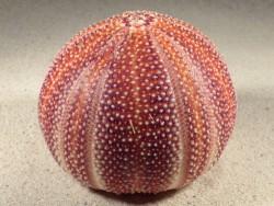 Echinus esculentus UK 10,3cm *Unikat*