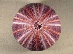 Echinus esculentus UK 12,2cm *unique*