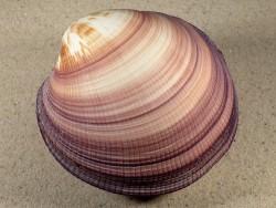 Antigona magnifica PH 10,6cm *Unikat*
