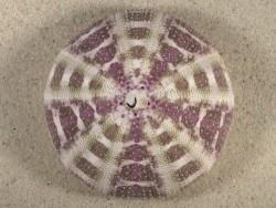 Toxopneustes pileolus PH 8,6cm *Unikat*