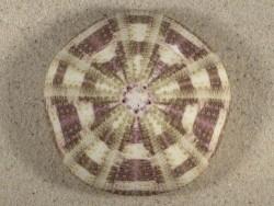 Toxopneustes pileolus PH 8,1cm *Unikat*