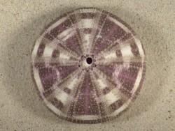 Toxopneustes pileolus PH 8,7cm *Unikat*