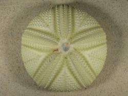 Astropyga radiata PH 12,1cm *Unikat*