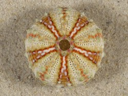 Coelopleurus maculatus PH 3,1cm *Unikat*