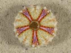 Coelopleurus maculatus PH 2,8cm *Unikat*