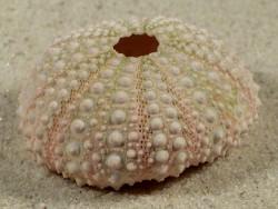 Echinometra mathaei PH 4,6cm *unique*