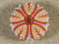 Coelopleurus granulatus PH 3,4cm *Unikat*