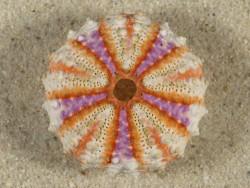 Coelopleurus granulatus PH 3,3cm *Unikat*