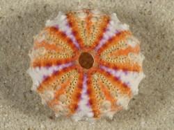 Coelopleurus granulatus PH 3,2cm *Unikat*