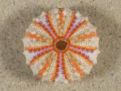 Coelopleurus granulatus PH 3,8cm *Unikat*