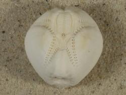 Echinocardium mediterraneum FR-Mittelmeer 4,1cm *Unikat*