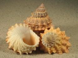 Tectarius pagodus 4,5+cm