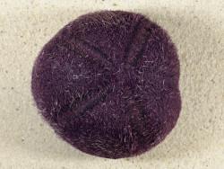 Plesiozonus diomedeae m/Stacheln PH 8,9cm *Unikat*