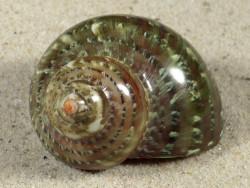 Turbo petholatus PH 5,1cm *Unikat*